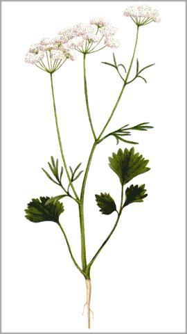 Anís (Pimpinella anisum). Plantas medicinales