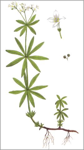 Fragrant woodruff