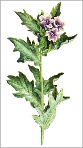 Beleño negro (Hyoscyamus niger). Plantas medicinales