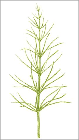 Greater horsetail