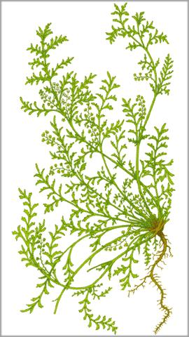 Of indian cress