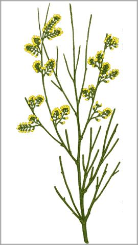 Common broom